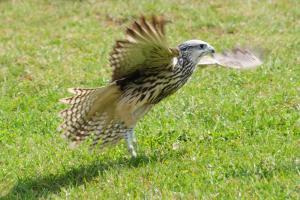 Greifvogel - Flügelschlag