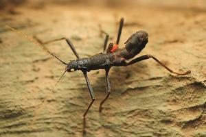 Insekt Samtschrecke