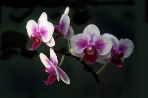 Orchidee - Phalaenopsis-Hybride