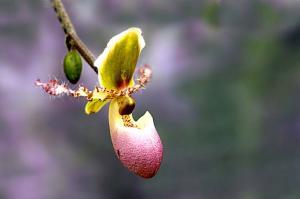 Orchidee - paphiopedilum pinocchio