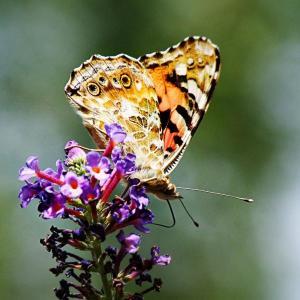 Schmetterling - Kleiner Fuchs 2