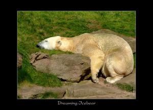 R - Dreaming Icebear